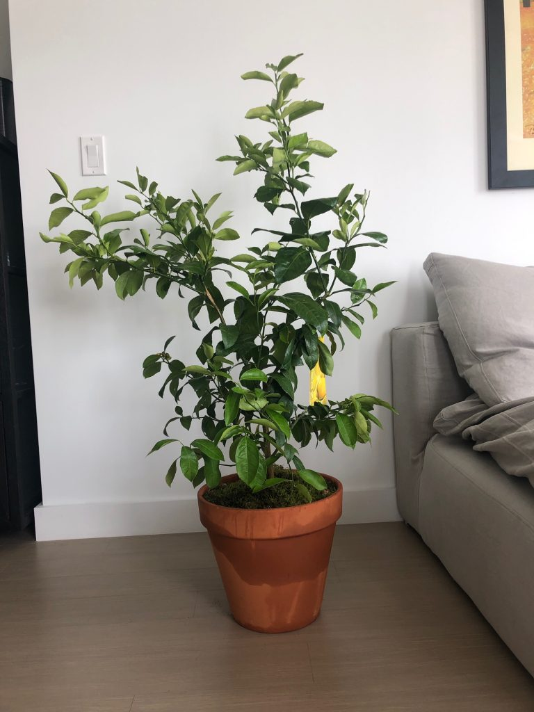 Citrus Tree Meyer Lemons