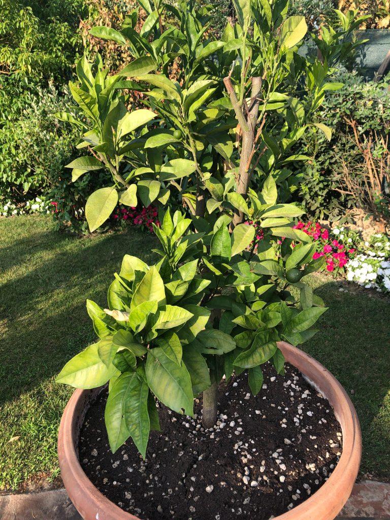 Citrus tree outside