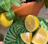 grow citrus tree