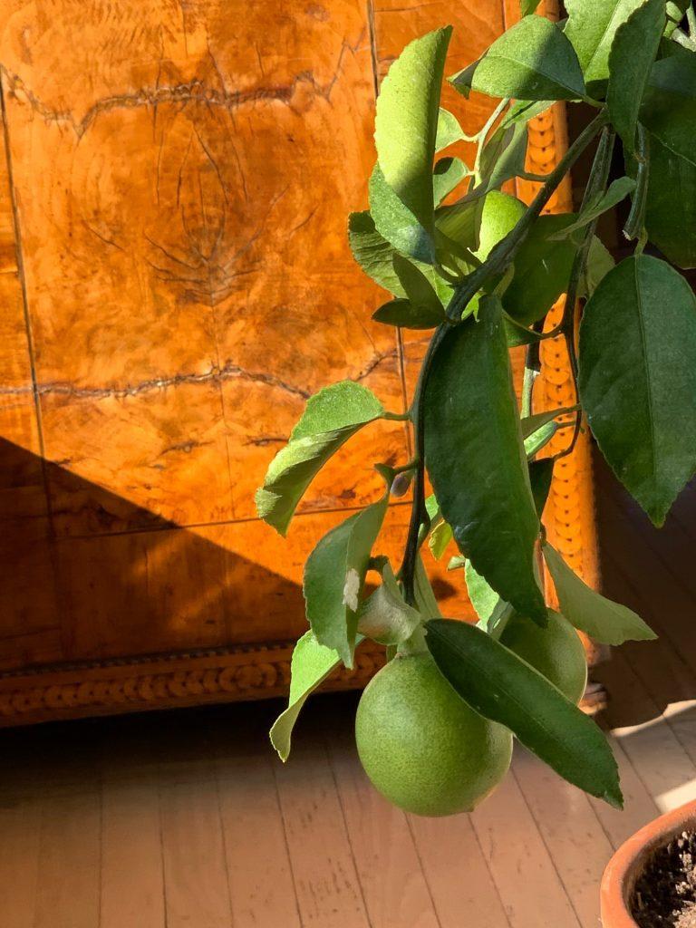 Lemons Growing Indoors