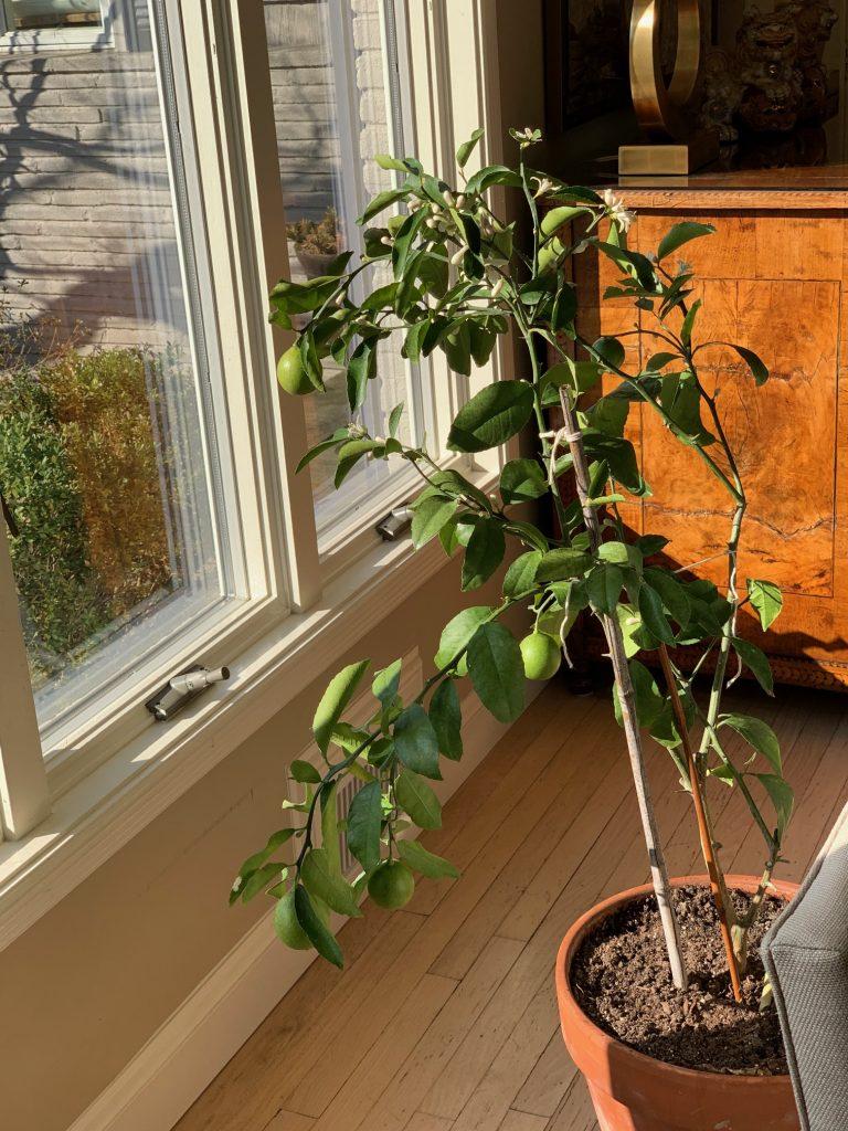 Citrus Tree Growing Indoors