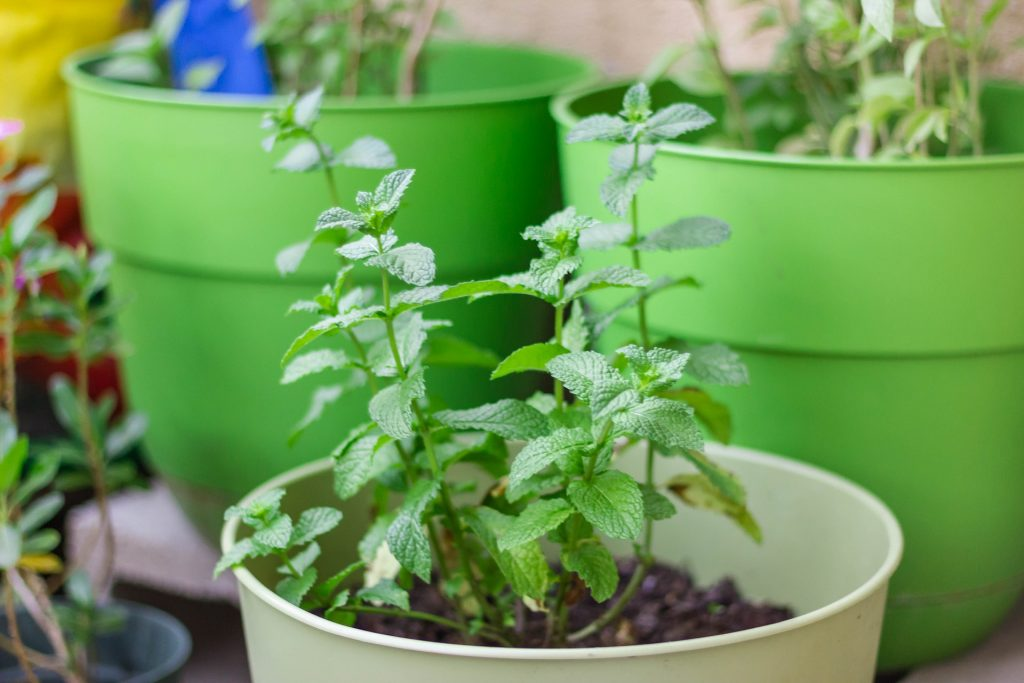 Mint grown in a container indoors