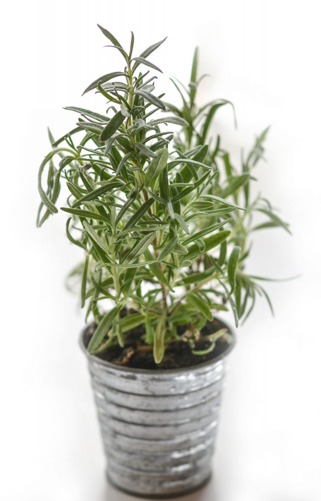 Kitchen Herb Garden Rosemary